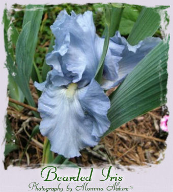 Bearded Iris - Photography by Momma Nature™