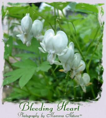 Bleeding Heart - Photography by Momma Nature™